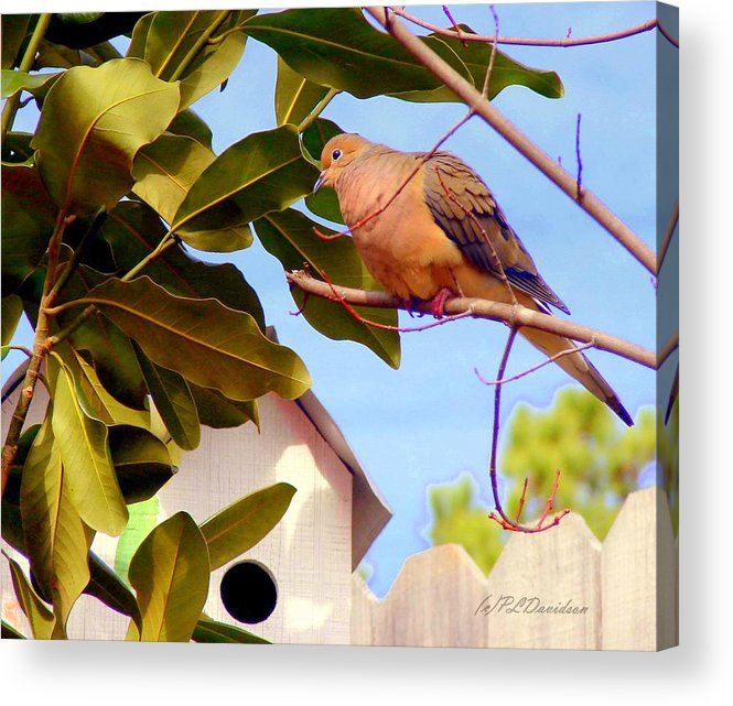 Birds Acrylic Print featuring the photograph Darling Dove by Patricia L Davidson