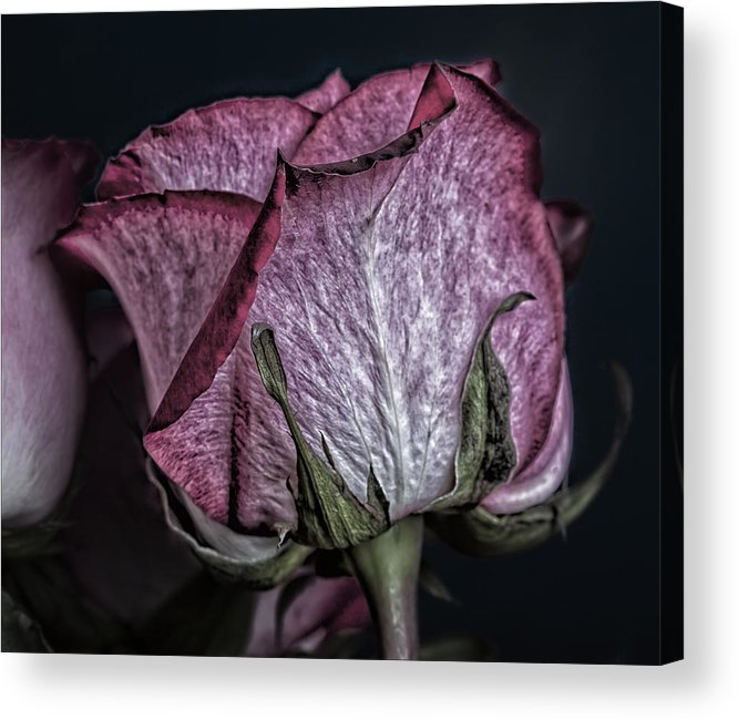 Rose Still Life Acrylic Print featuring the photograph Rose Still Life by Robert Ullmann
