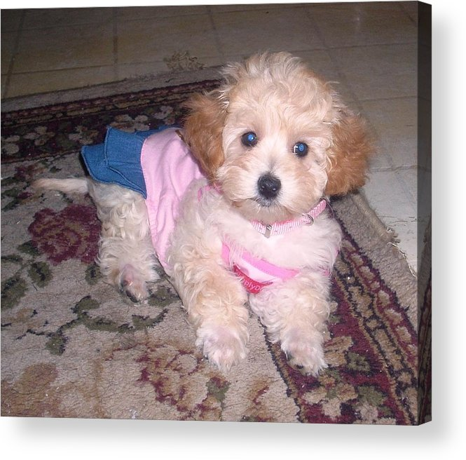 Yorki Poo Acrylic Print featuring the painting Cute Princess by Ruben Barbosa