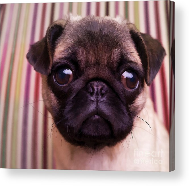 Pug Puppy Cute Dog Breed Portrait Pet Animal Toy Lap Acrylic Print featuring the photograph Cute Pug Puppy by Edward Fielding
