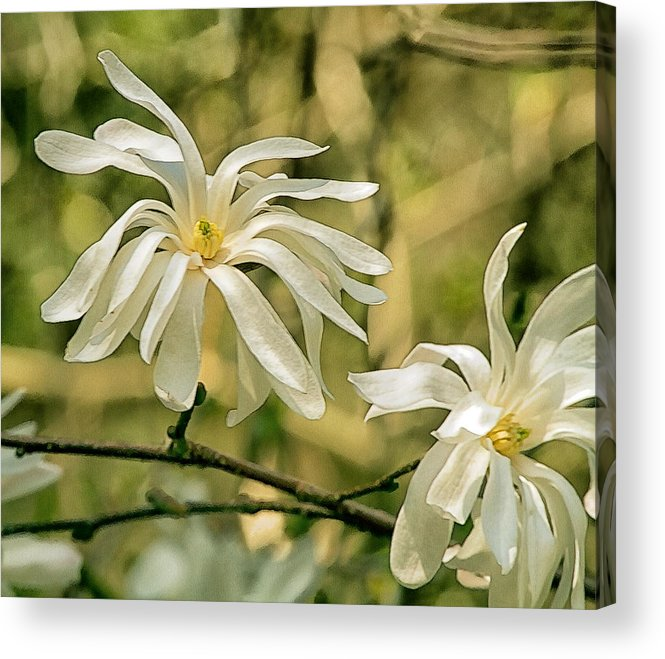 Star Magnolia Acrylic Print featuring the photograph Star Magnolia  by Constantine Gregory