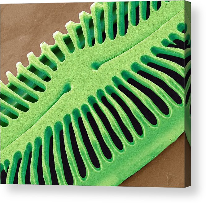 Pinnularia Sp Acrylic Print featuring the photograph Diatom Frustule, Sem by Steve Gschmeissner