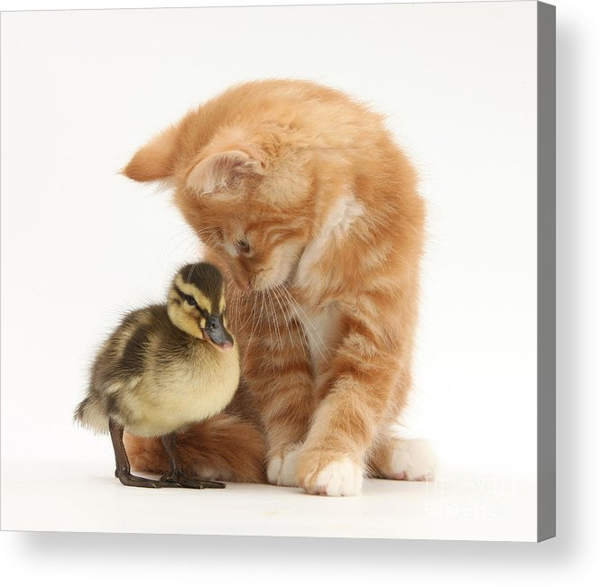 Nature Acrylic Print featuring the photograph Ginger Kitten And Mallard Duckling by Mark Taylor