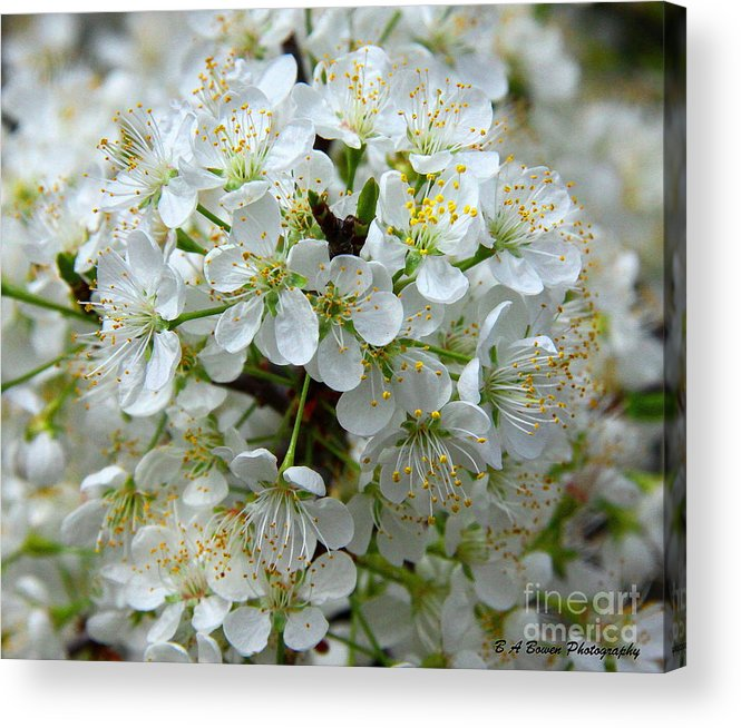 Chickasaw Plum Acrylic Print featuring the photograph Chickasaw Plum Blooms by Barbara Bowen
