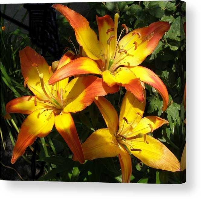 Daylilies Acrylic Print featuring the photograph Daylilies Dressed In Their Best by Jeanette Oberholtzer