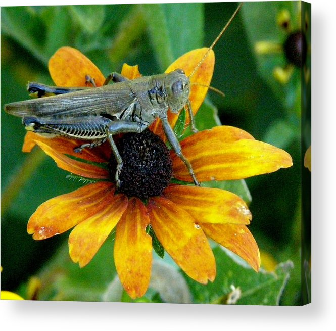 Flowers Acrylic Print featuring the photograph Hopper On Black Susan Flower by Jeanette Oberholtzer