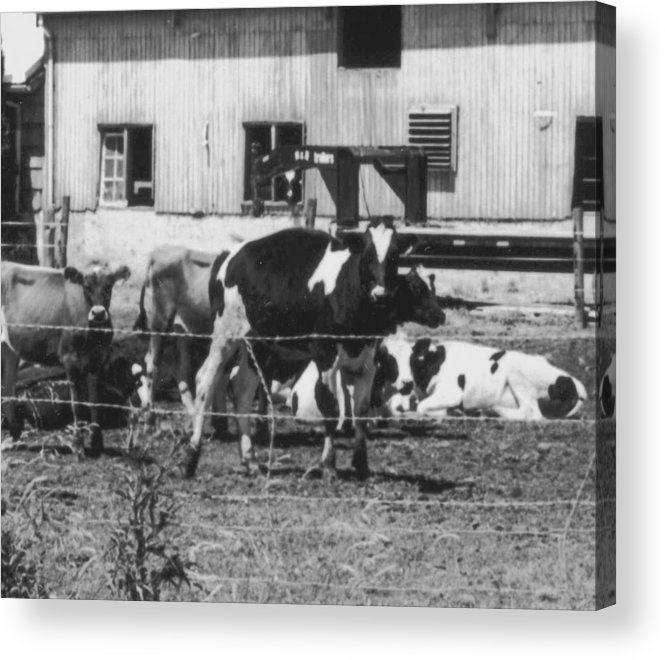 Cows Acrylic Print featuring the photograph Mad Cow by Jennifer Ott