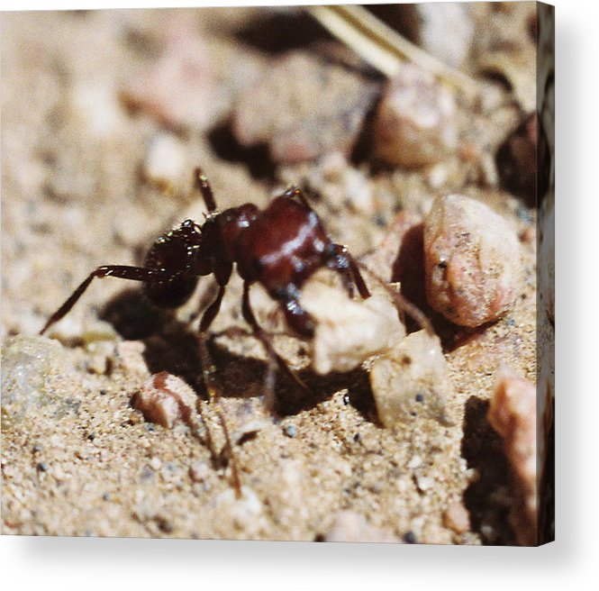 Ant Acrylic Print featuring the photograph Out Of My Way by Mike Burton