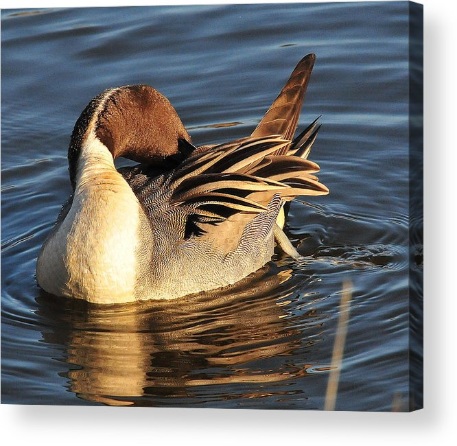 Photography Acrylic Print featuring the photograph Preening In The Sun by Joel Brady-Power