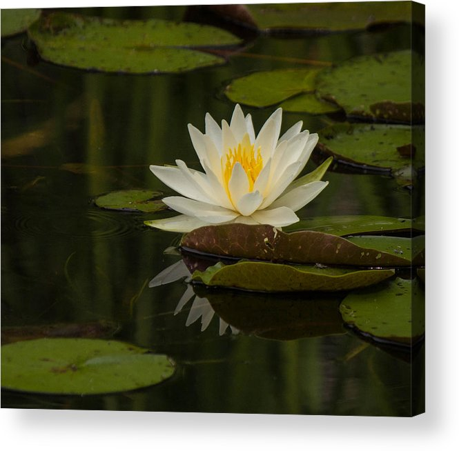 Flower Acrylic Print featuring the photograph Water Lilly by Peter Moore