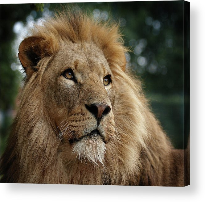 Animal Themes Acrylic Print featuring the photograph Head Shot Of Male African Lion by Luke Robinson