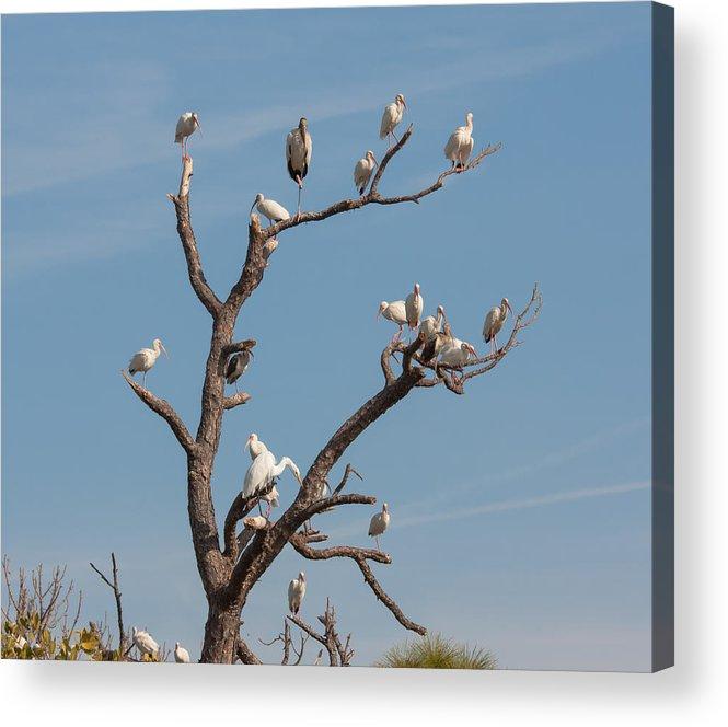 Bird Acrylic Print featuring the photograph The Bird Tree by John M Bailey