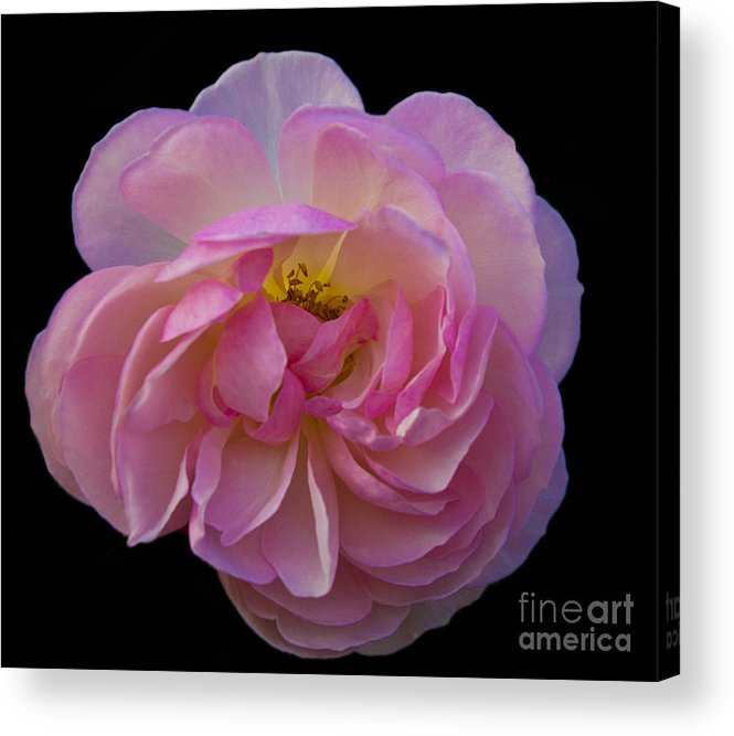 Pink Acrylic Print featuring the photograph Pink Rose On Black by Ursula Lawrence