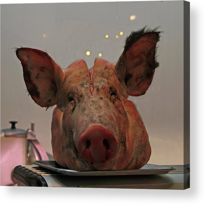 Pigs Acrylic Print featuring the photograph An Open Mind by Guy Ciarcia