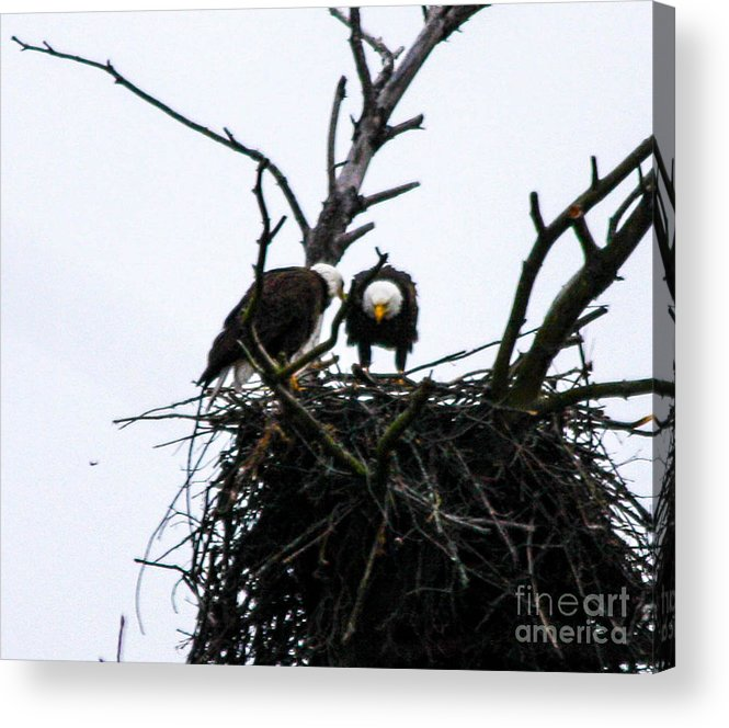 This Is A Photo Of Nesting Bald Eagles Along The Delaware River In Pennsylvania. Acrylic Print featuring the photograph Bald Eagles Along The Delaware River by William Rogers