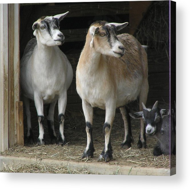 Goats Acrylic Print featuring the photograph Goat Trio by Jeanette Oberholtzer