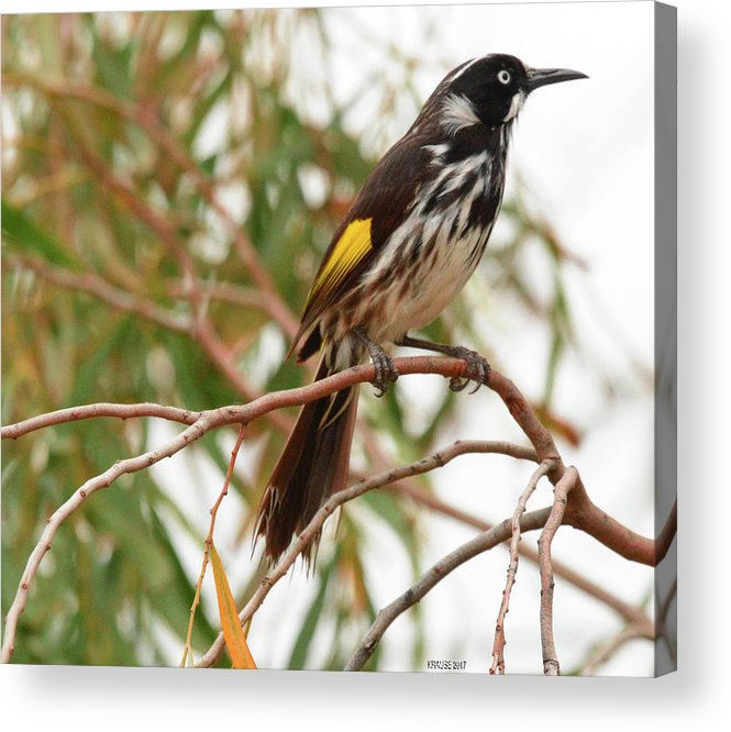 Honey-eater Acrylic Print featuring the photograph New Holland Honey-eater by Peter Krause