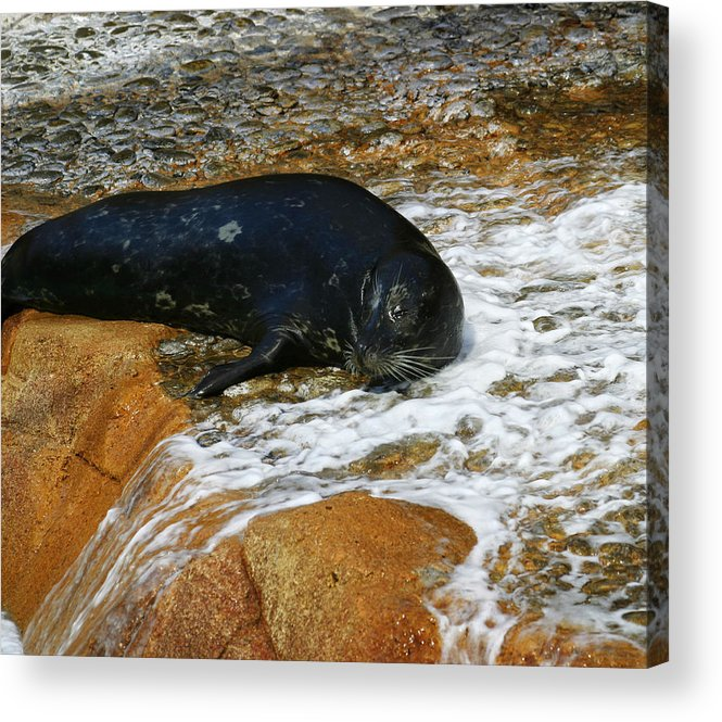 Seal Acrylic Print featuring the photograph Seal by Anthony Jones