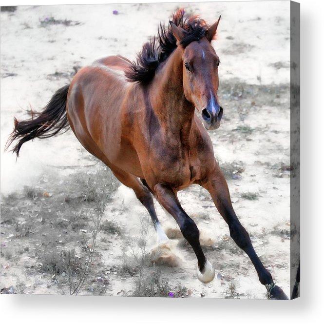 Horizontal Acrylic Print featuring the photograph Warmblood Horse Galloping by Vanessa Mylett