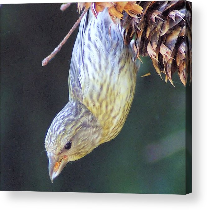 Fowl Acrylic Print featuring the photograph A Little Bird Eating Pine Cone Seeds by Jeff Swan