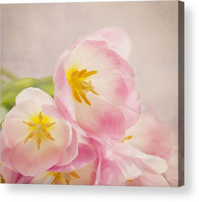 Tulip Acrylic Print featuring the photograph Inner Beauty - Pink Tulips by Kim Hojnacki