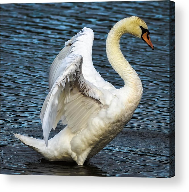 Acrylic Print featuring the photograph Mute Swan by Brian Stevens