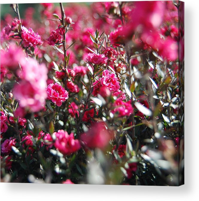 Tea Tree Acrylic Print featuring the photograph Lost In A Shrub by Jean Booth