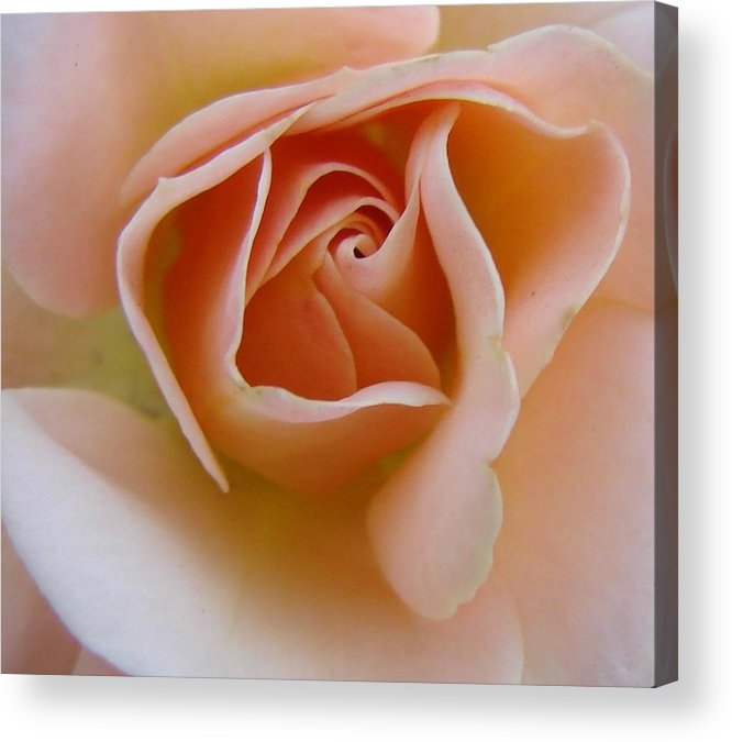 Rose Acrylic Print featuring the photograph Peach Mini Rose by Liz Vernand
