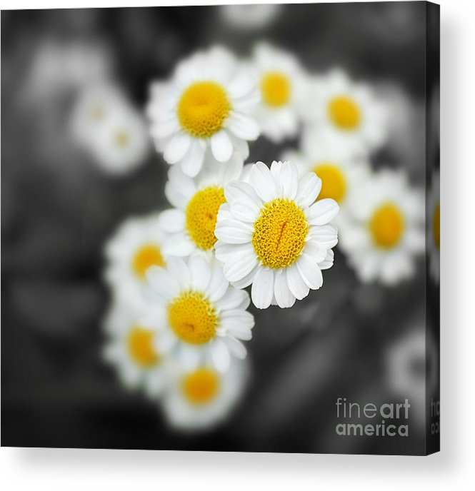 Closeup Acrylic Print featuring the photograph Chamomile by Jane Rix