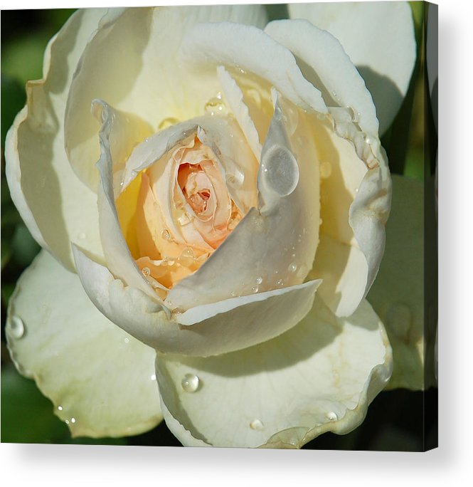 Rose Acrylic Print featuring the photograph Unfolding by Suzanne Gaff