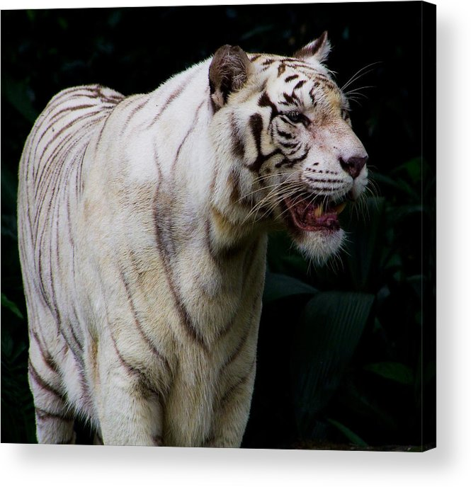 White Acrylic Print featuring the photograph Tiger by Chua ChinLeng