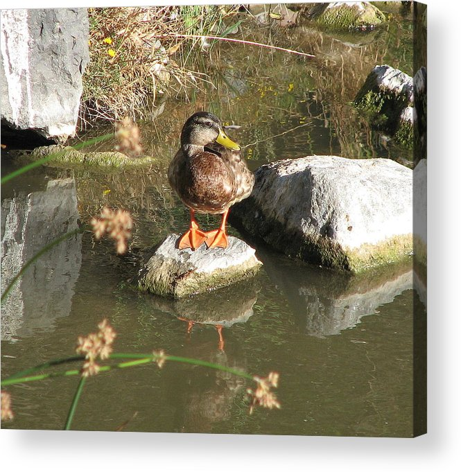 Duck Acrylic Print featuring the photograph Ducky by Kathy Roncarati