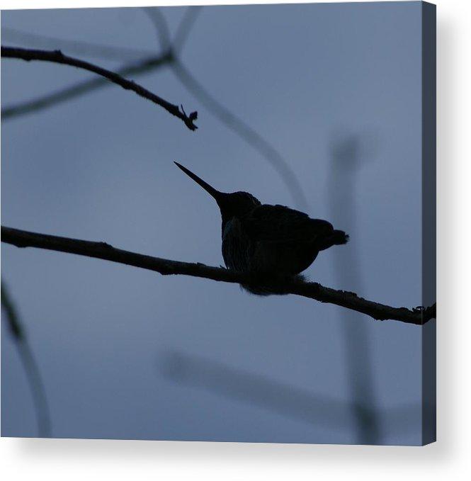 Hummingbird Acrylic Print featuring the photograph Hummingbird by Liz Vernand