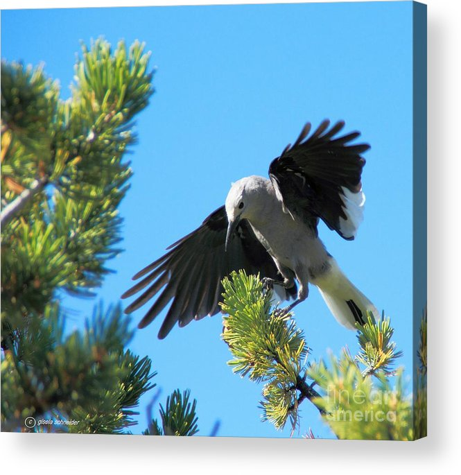 Art Acrylic Print featuring the photograph Looking For Lunch ... Montana Art Photo by GiselaSchneider MontanaArtist