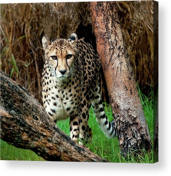 Western Australia Acrylic Print featuring the photograph On The Prowl by Heather Thorning