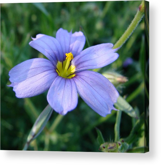 Purple Flower Acrylic Print featuring the photograph Purple In The Wild by Liz Vernand