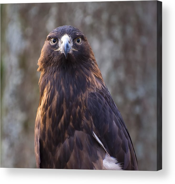 Eagle Pictures Acrylic Print featuring the photograph Golden Eagle 4 by Chris Flees