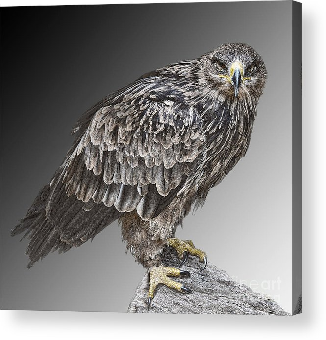Bird Of Prey Acrylic Print featuring the photograph African Tawny Eagle by Sheila Laurens