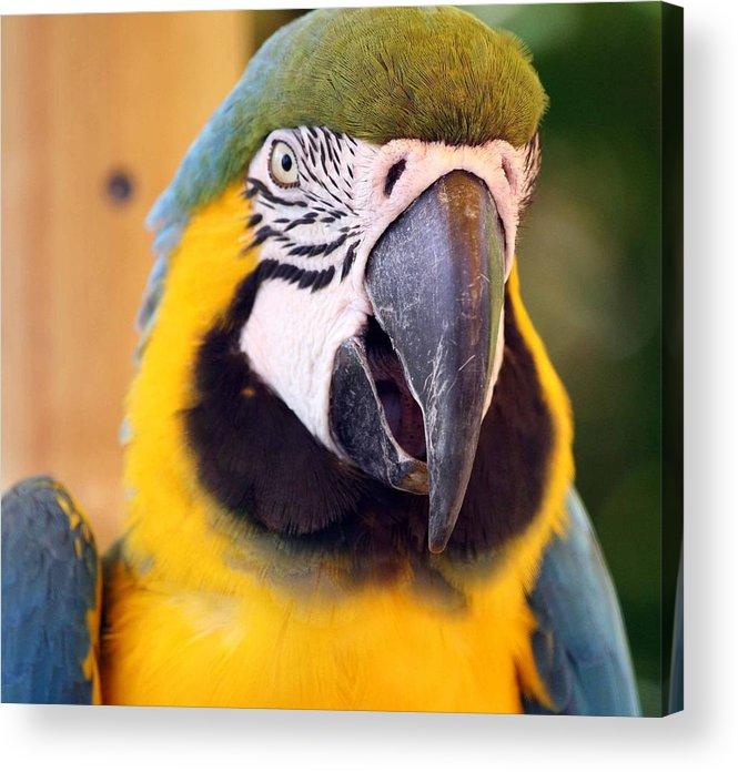Macaw Acrylic Print featuring the photograph I Am A Pretty Boy by Andrea OConnell