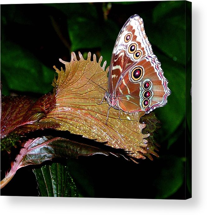 Butterfly Acrylic Print featuring the photograph Blue Morph Butterfly by Mindy Newman