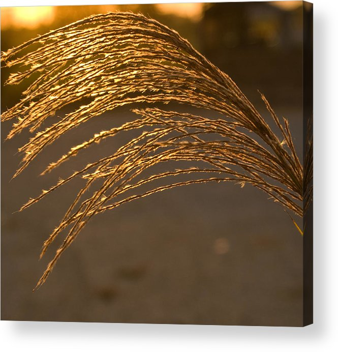 Grass Acrylic Print featuring the photograph Golden Grass by Douglas Barnett