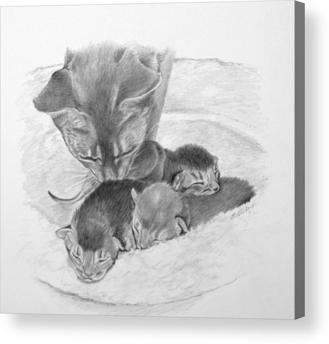 Drawing Acrylic Print featuring the drawing Mother Cat Washing Kittens by Phyllis Tarlow