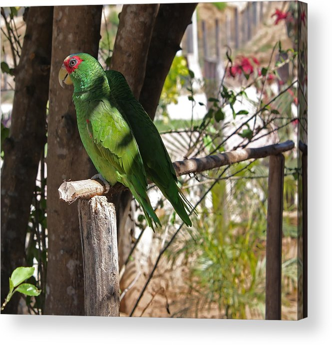 Parrots Acrylic Print featuring the photograph Pair Of Parrots by Robert Rodda