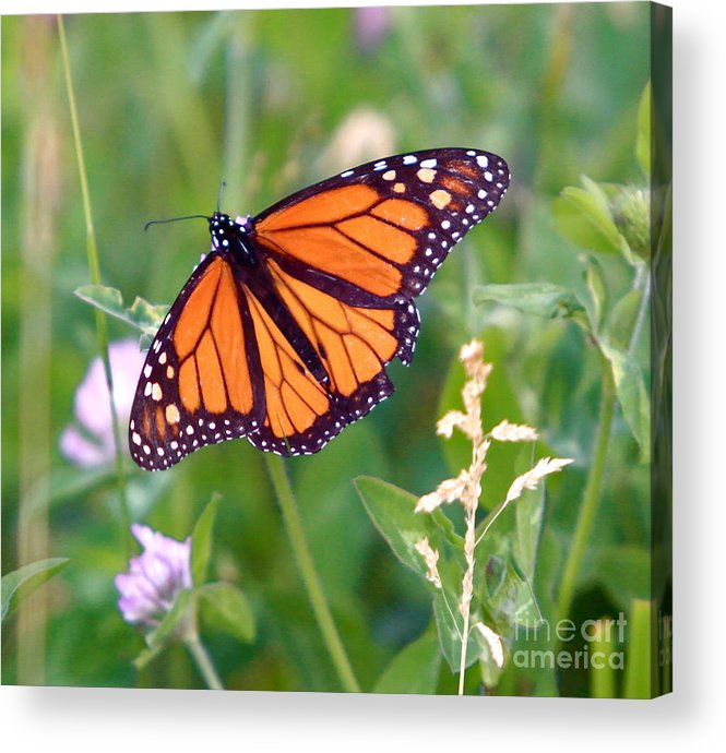 Butterfly Acrylic Print featuring the photograph The Orange Butterfly by Robert Pearson