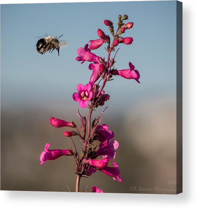 Parry's Penstemon Acrylic Print featuring the photograph Hovering Bee by Aaron Burrows