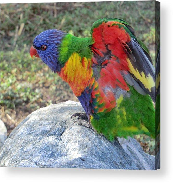 Lorikeet Acrylic Print featuring the photograph Rainbow Lorikeet by Rob Cruise