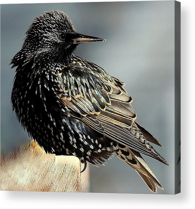 Bird Acrylic Print featuring the photograph Starling Colors by Rosanne Jordan