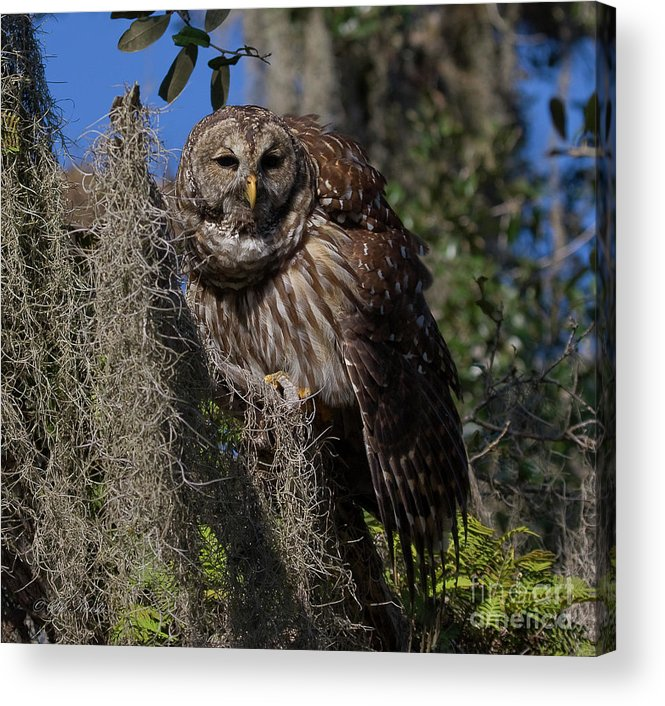 Barred Owl Acrylic Print featuring the photograph I See You by Sue Karski