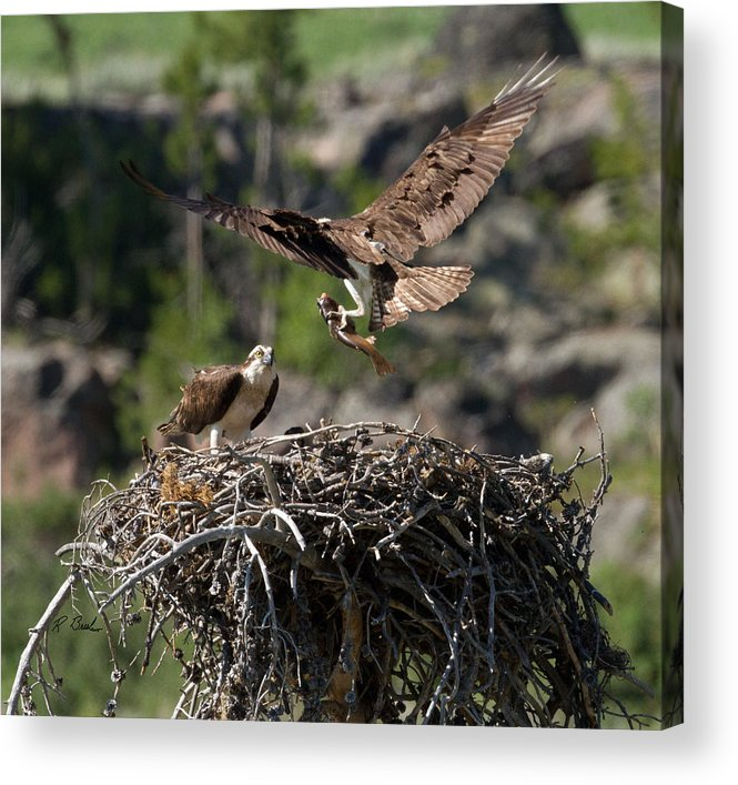 Nature Acrylic Print featuring the photograph Osprey With Fish by R Breslaw