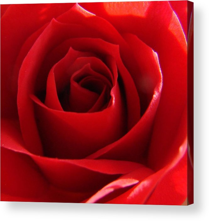 Roses Acrylic Print featuring the photograph Red Rose by Liz Vernand